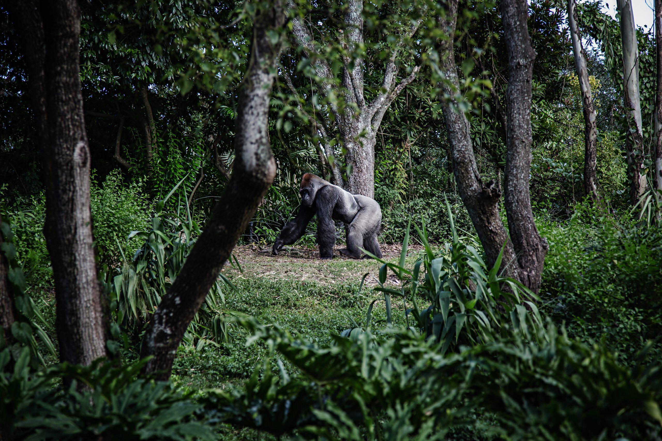 foto-gorilla